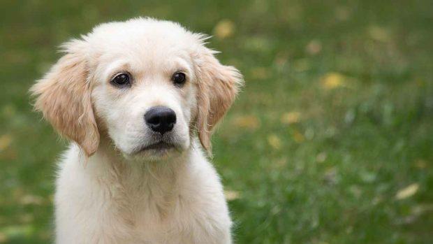 El perro cachorro no ladra