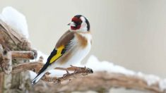 Enfermedades de pájaros domésticos