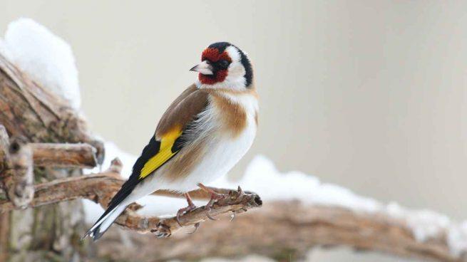 Los pájaros en cautividad