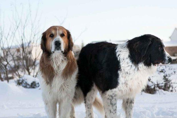 Perros mastines