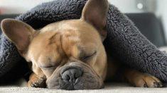 ¿Cómo es el Bulldog francés?