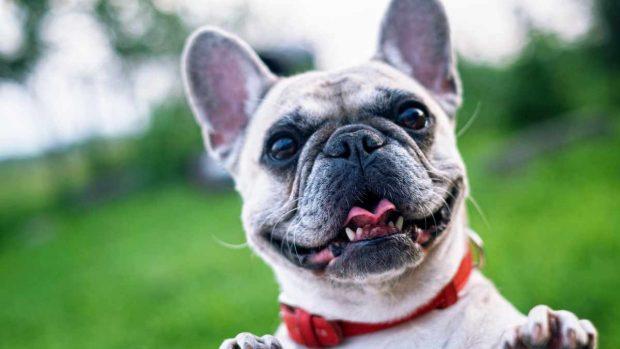 Perro Bulldog francés