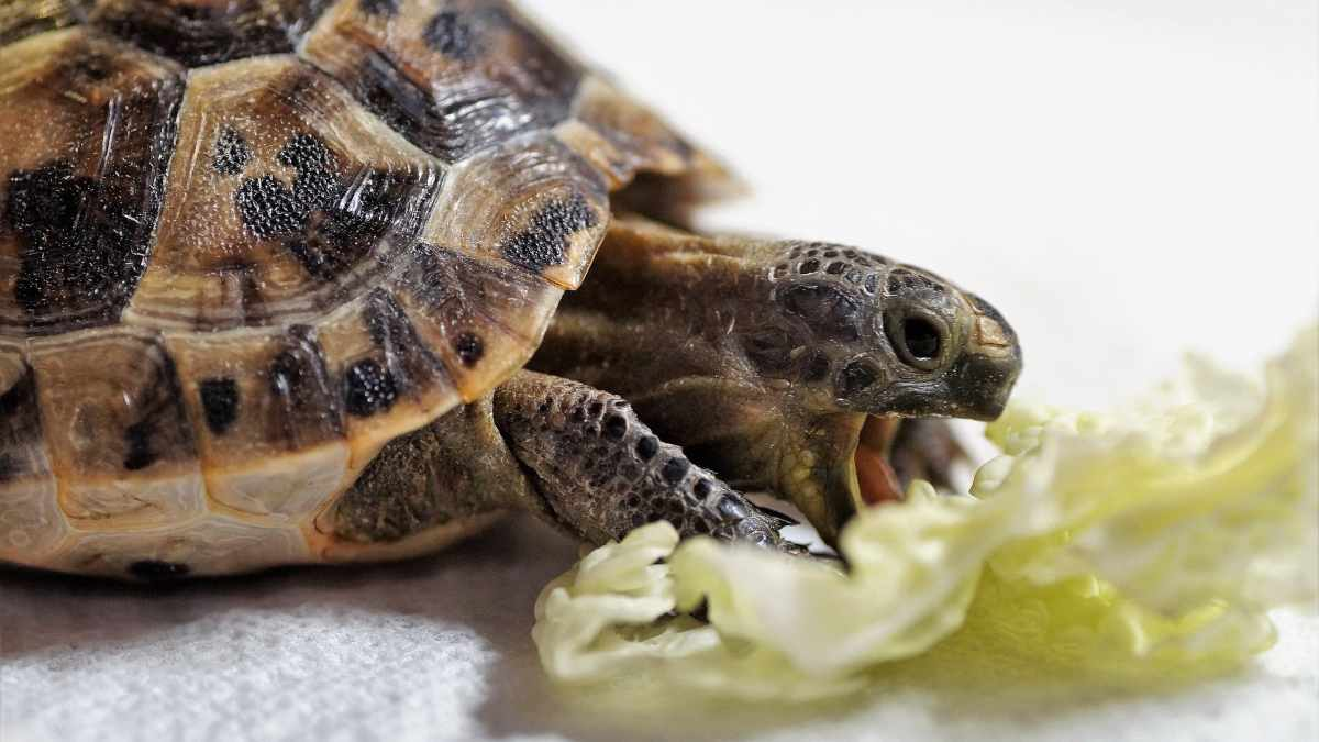 Alimentación de nuestra tortuga