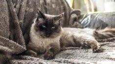 La raza gato ragdoll
