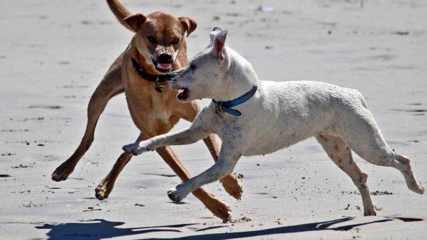Perros pelean