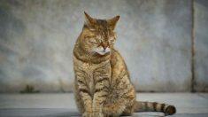 Tratamiento del envenenamiento en gatos