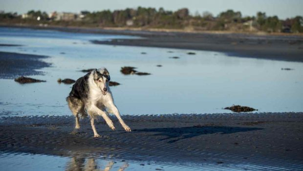 Perro Borzoi corriendo