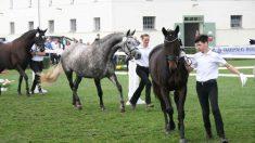 ¿Cómo es el caballo trakehner?