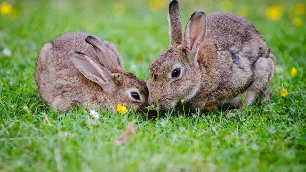 Domesticación de un conejo