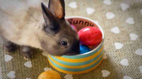 ¿Se puede domesticar un conejo de campo?