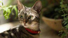 ¿Cómo es el gato Munchkin?