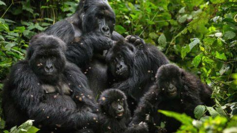 Una familia de gorilas. (Foto: Getty Images)
