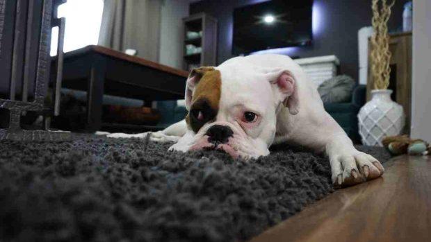 Cistitis en mascotas
