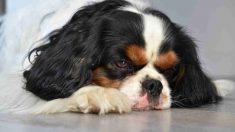 ¿Cómo es la cistitis en tu perro?