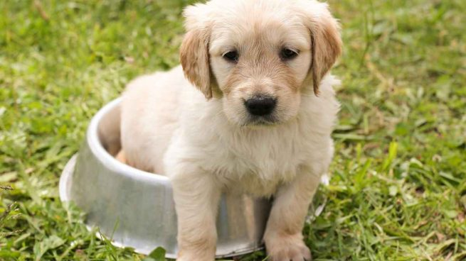 Alimentación de cachorro
