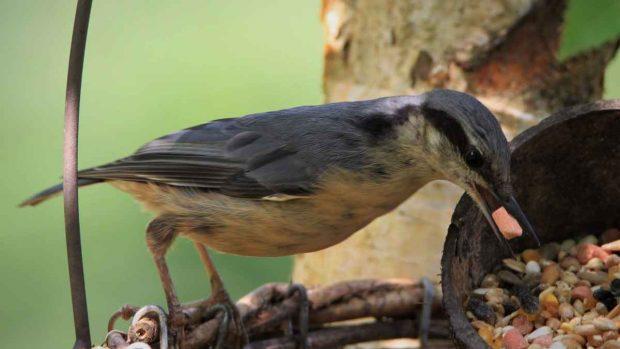 Comida para pájaros domésticos