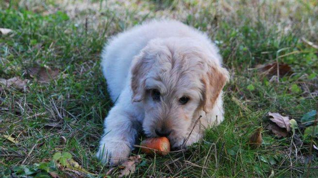 Alimentos no debe tomar tu cachorro