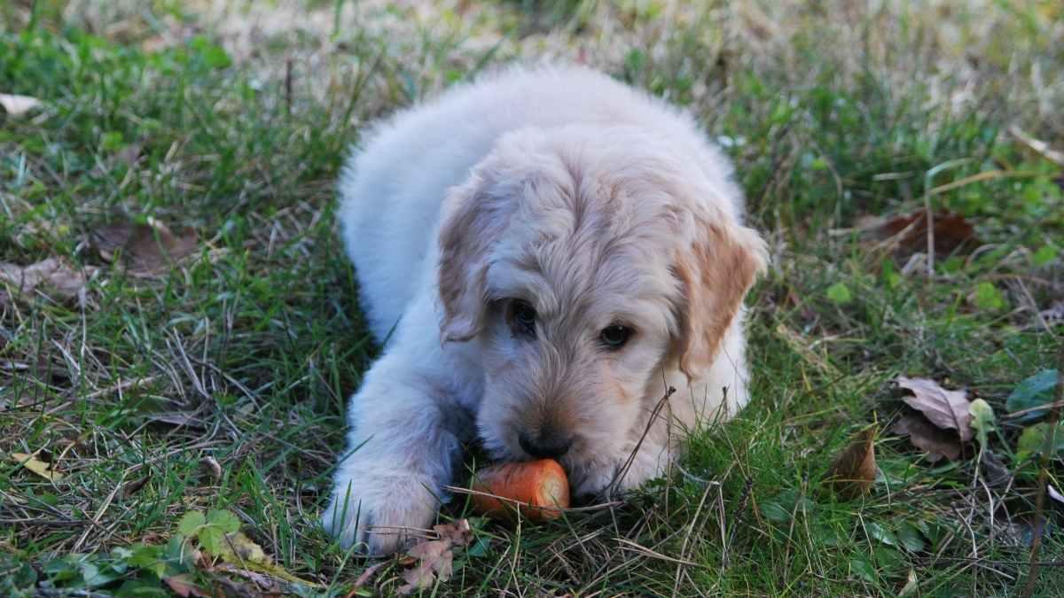 Alimentos a evitar para cachorro