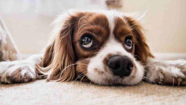 Consejos ayudar a perro triste