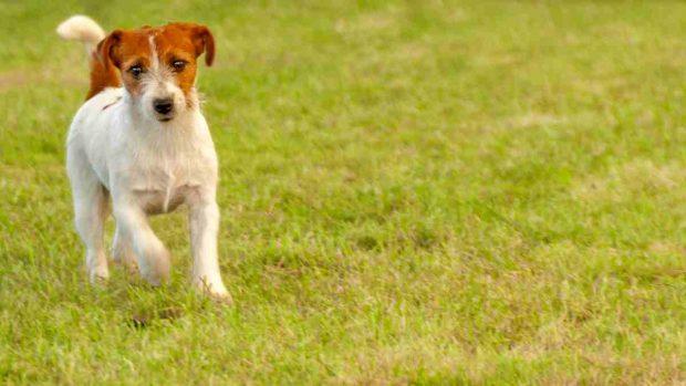 El perro Parson Russell Terrier