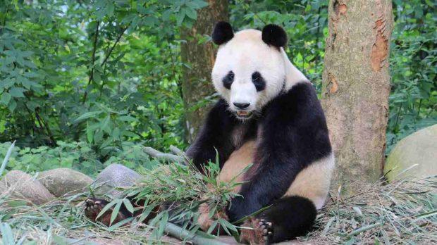 Panda de Sichuán