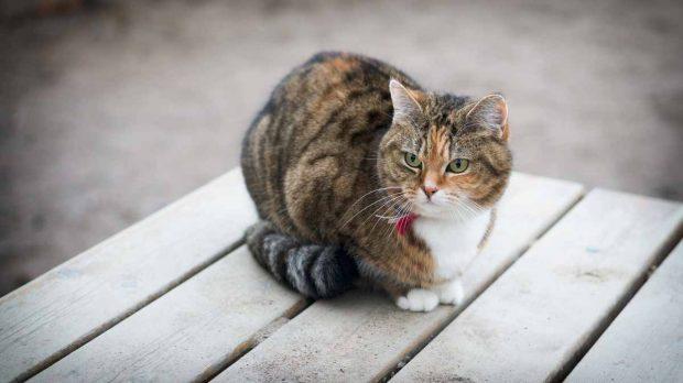 El jadeo de los gatos