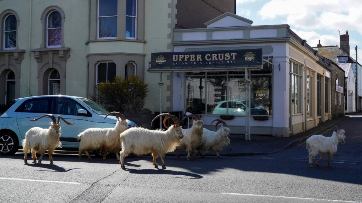 Cabras en la calle durante la crisis del coronavirus. (Foto: GETTY)