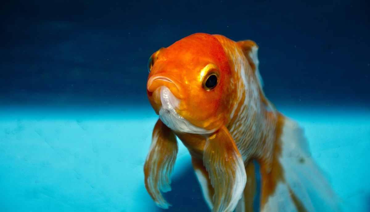 Síntomas de peces enfermos en acuarios