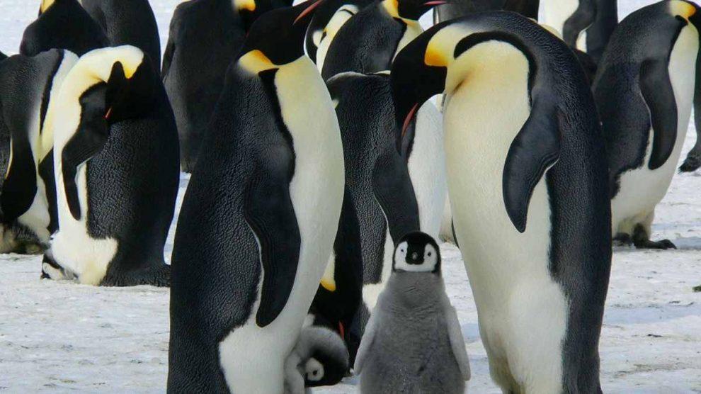 El pingüino gigante