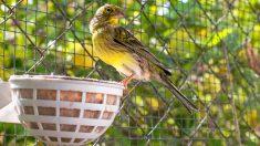 Señales de enfermedad en pájaros