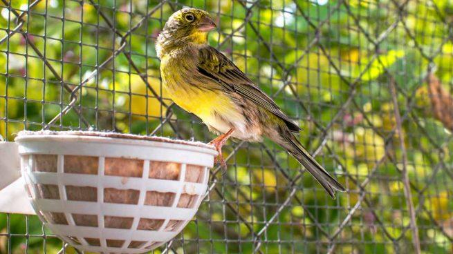 Pájaro sano y enfermo