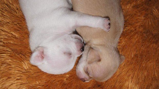 Perros duermen