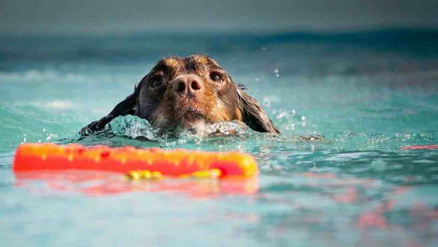 Perro se baña en piscina