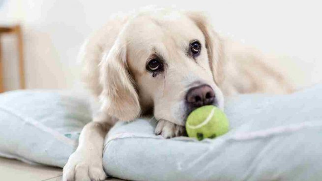 ¿Pueden los humanos tomar medicamentos para la tenia del perro?