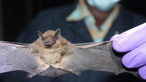 Los murciélagos, principal reservorio de coronavirus en todo el mundo. Foto EP