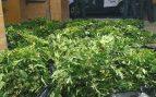 Cultivo de marihuana.