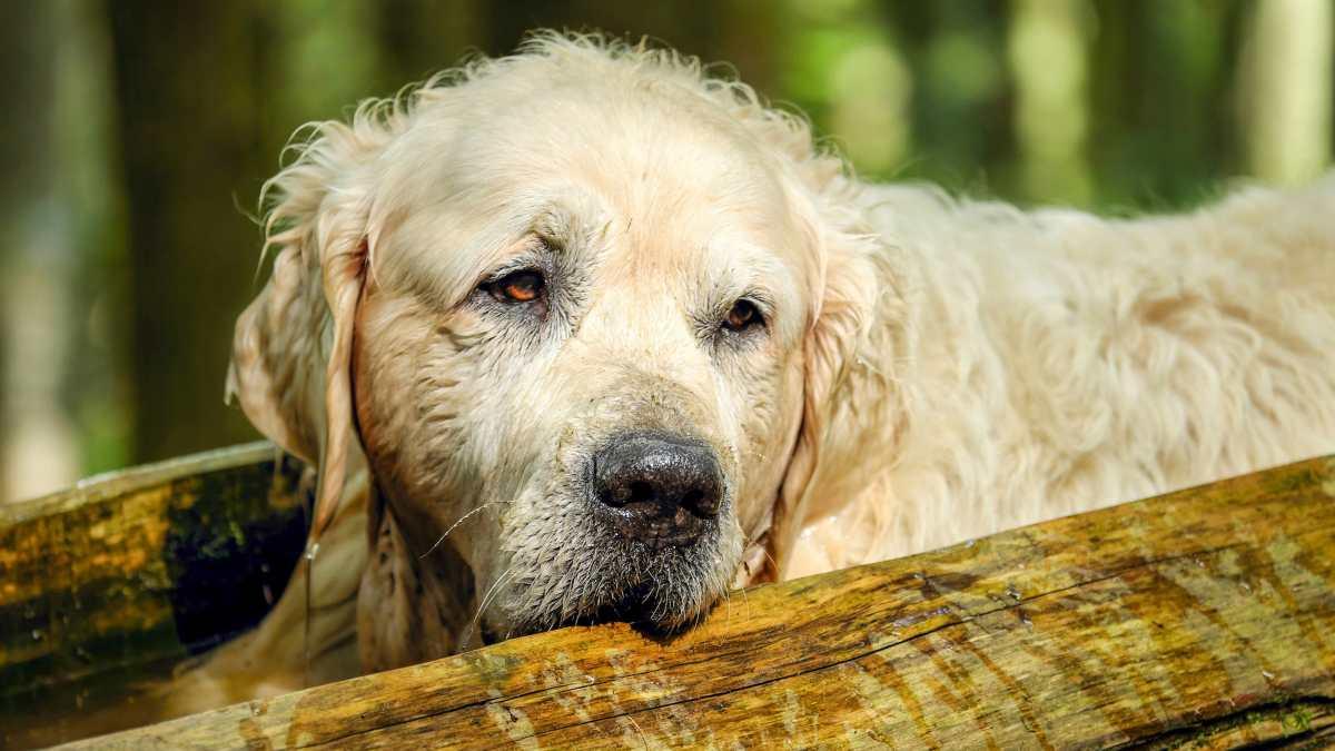 Tipos de pelo en perros
