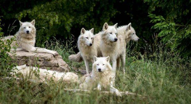 El perro y el lobo