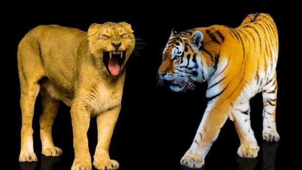 Fiereza del león y tigre