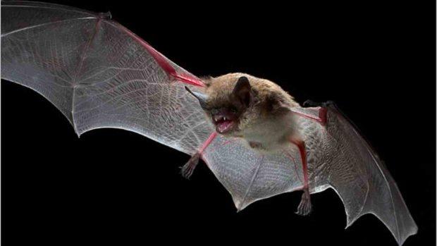 Orientación en el murciélago
