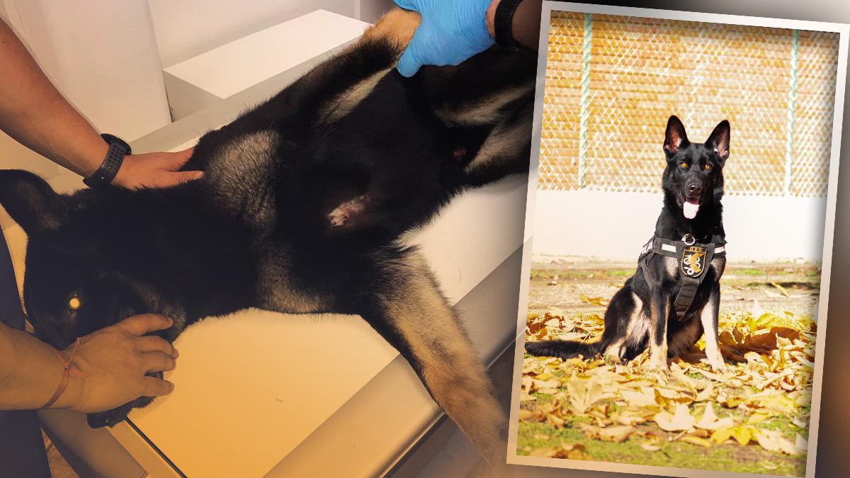 Elko, el perro policía de los GEO herido en Valladolid.