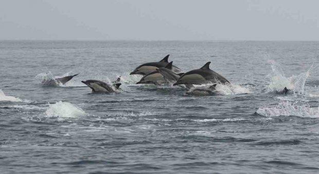 Cría de delfines