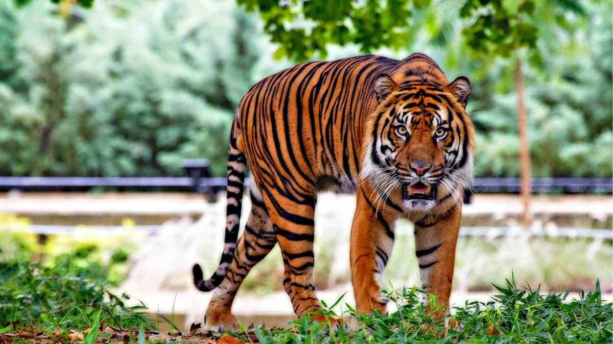 Caracteres del tigre sumatra_