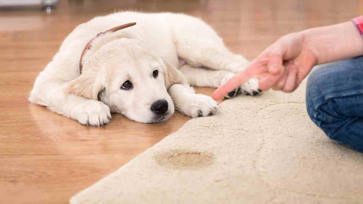 Evita que tu perro orine en casa