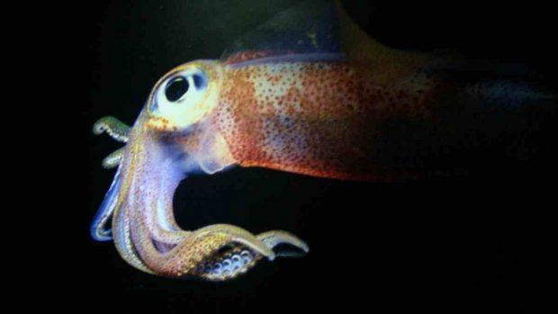 Mimetismo del calamar