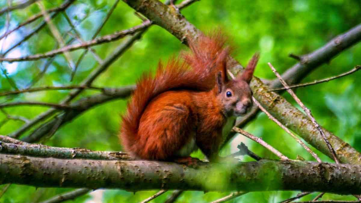 Curiosidades de la ardilla roja