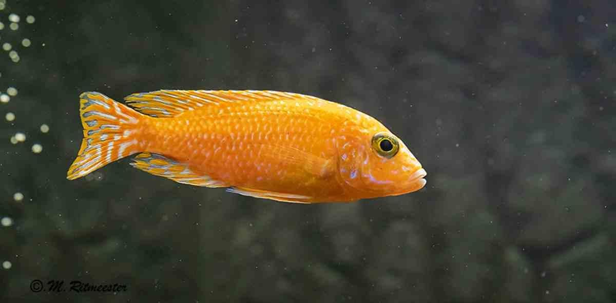 Datos sobre el pez dorado