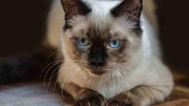 Gatos y razas en España
