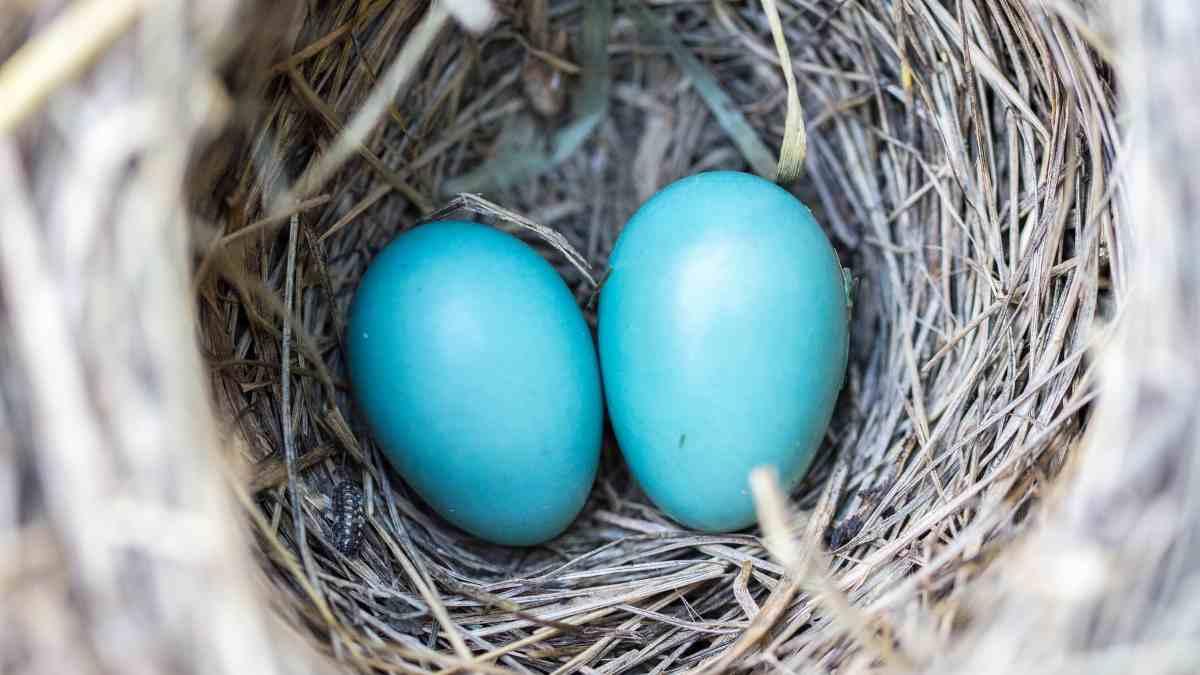 Aves hacen los nidos