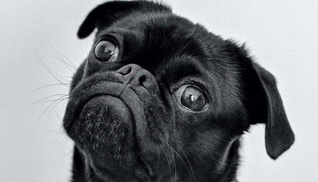 Perros y covid 19